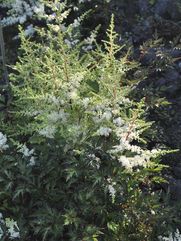 Hans van der Meer   Astilbe simplicifolia eden's twinkle