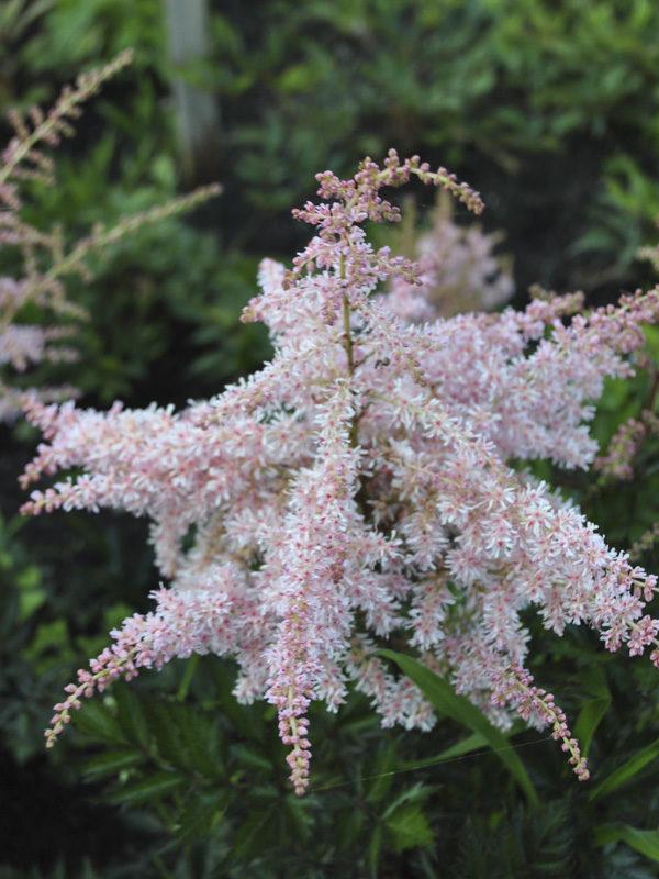 Hans van der Meer | Astilbe simplicifolia Pink Lightning