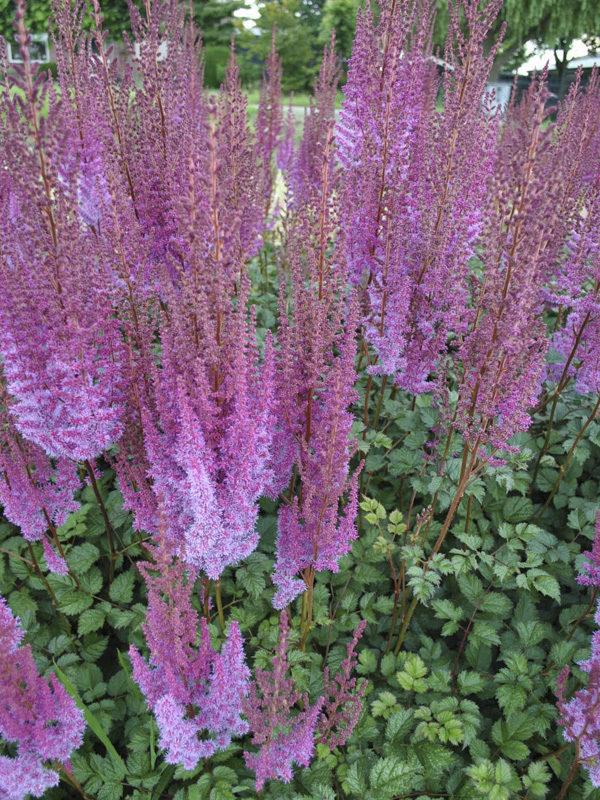 Hans van der Meer   Astilbe chinensis Purplelanze
